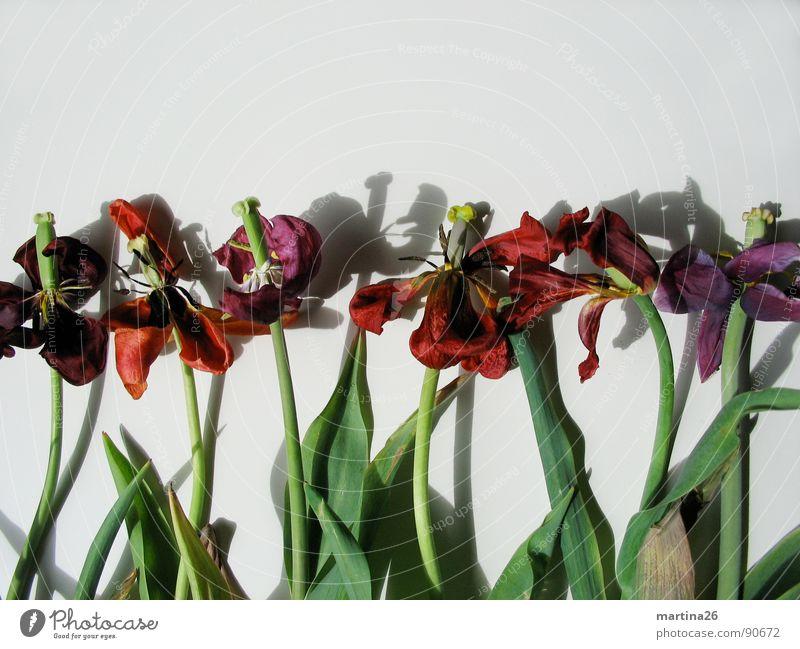 Der Tod steht ihnen gut Blume Tulpe Blüte Blütenblatt Stengel Schatten rot Verfall mehrfarbig Pflanze Trauer vergangen fade Blues Frühling Vergänglichkeit