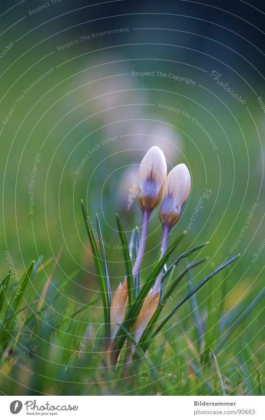 Krokus im Fokus Krokusse Blume violett Frühling springen grün Wiese Natur Blüte crokus crocusses flower flowers blau blue Rasen grass grassland meadow pasture