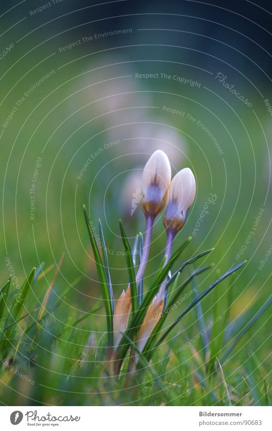 Krokus im Fokus Natur Blume grün blau Wiese springen Blüte Frühling Rasen violett Krokusse