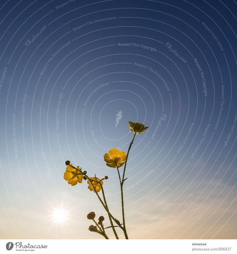 buttercup Natur Landschaft Pflanze Luft Himmel Wolken Sonne Sonnenaufgang Sonnenuntergang Sonnenlicht Klima Wetter Schönes Wetter Blume Gras Sträucher Blüte