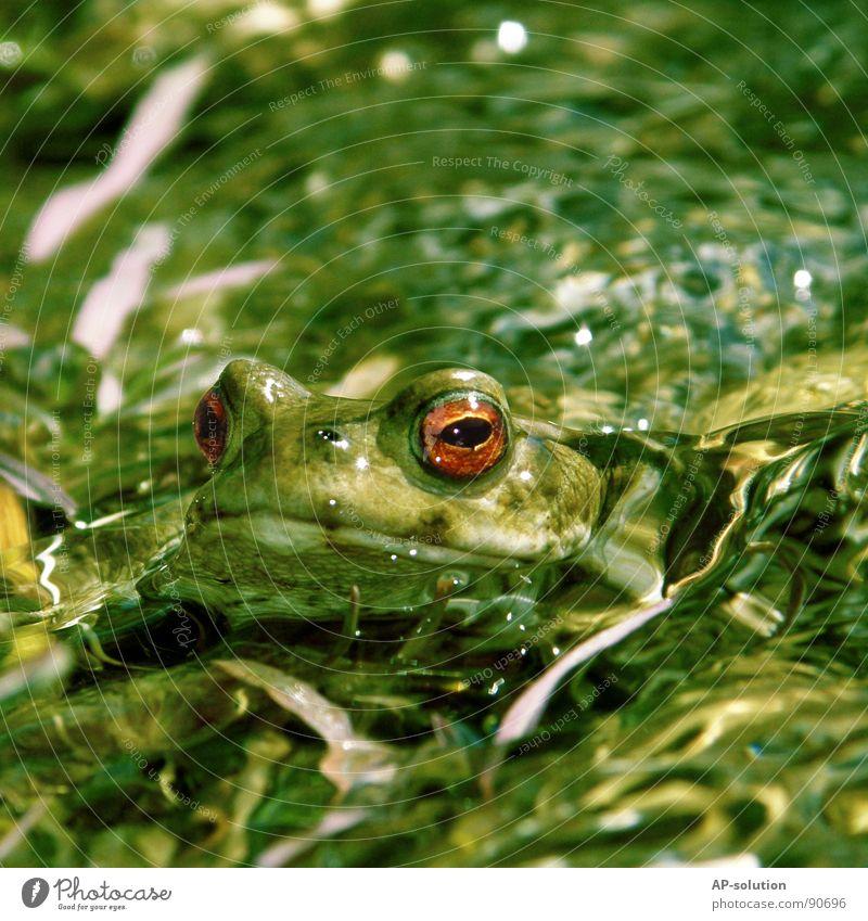 gut getarnt Natur Wasser grün Tier Auge Leben See Schwimmen & Baden nass Lebewesen tauchen Küssen Im Wasser treiben ökologisch Unterwasseraufnahme Frosch