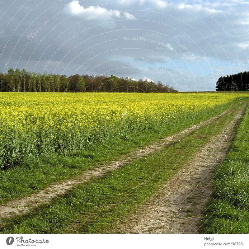 ländliche Landschaft mit Rapsfeld, Feldweg und Bäumen im Hintergrund bei bewölktem Himmel Farbfoto mehrfarbig Außenaufnahme Menschenleer Textfreiraum oben Tag