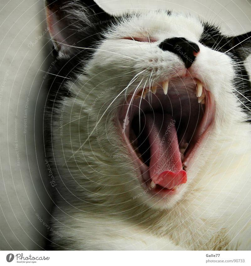 müde Katze gähnen gefährlich schlafen Siesta Säugetier Hauskatze Müdigkeit Zunge Gebiss Momentaufnahme