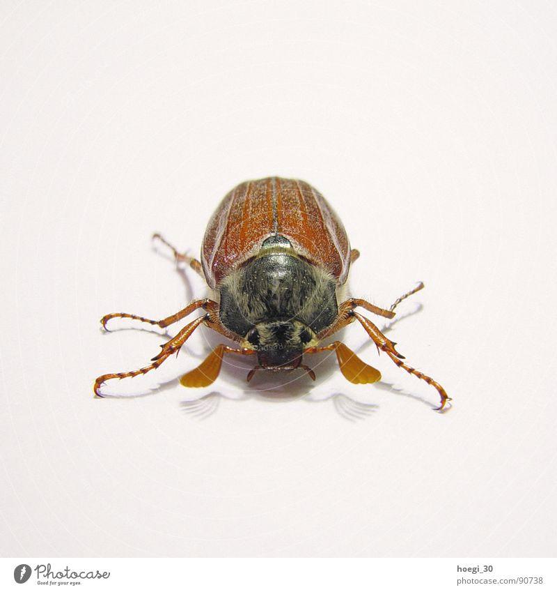 Angriffslustig weiß Tier braun Insekt Mitte Quadrat Käfer frontal Angriff Vorderseite angriffslustig Härchen Maikäfer