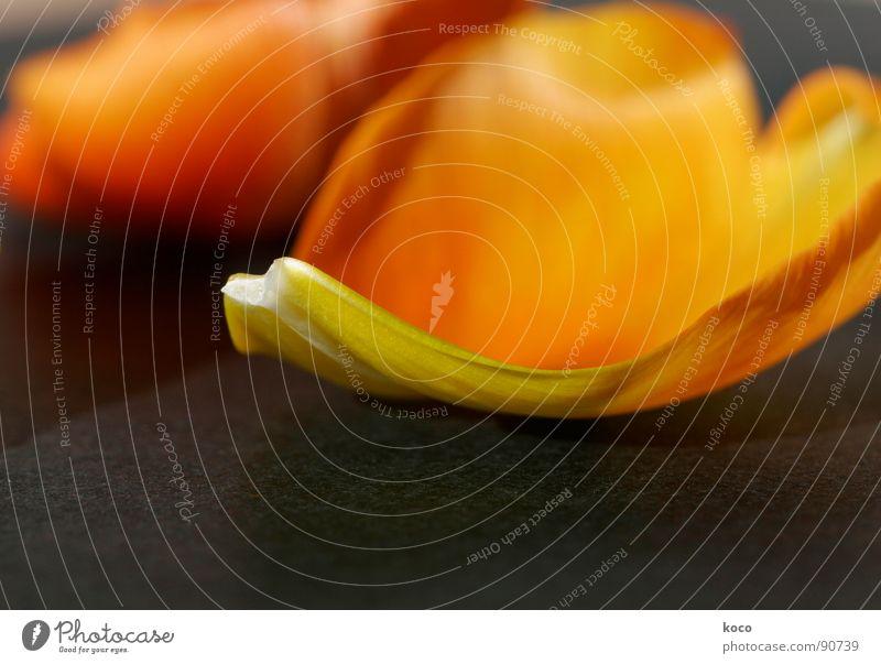 herzblatt Blume orange Herz Vergänglichkeit zart Tulpe Blütenblatt