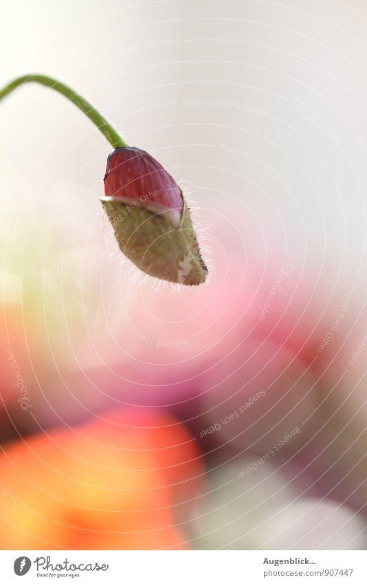 Septembermohn... Natur grün weiß Sommer ruhig Leben Herbst natürlich rosa glänzend orange Zufriedenheit frisch warten genießen Warmherzigkeit