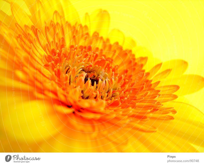 Gelbe Gerbera Farbfoto Innenaufnahme Makroaufnahme Hintergrund neutral Sommer Natur Pflanze Blume Blüte Blühend gelb Vergänglichkeit Blütenblatt orange