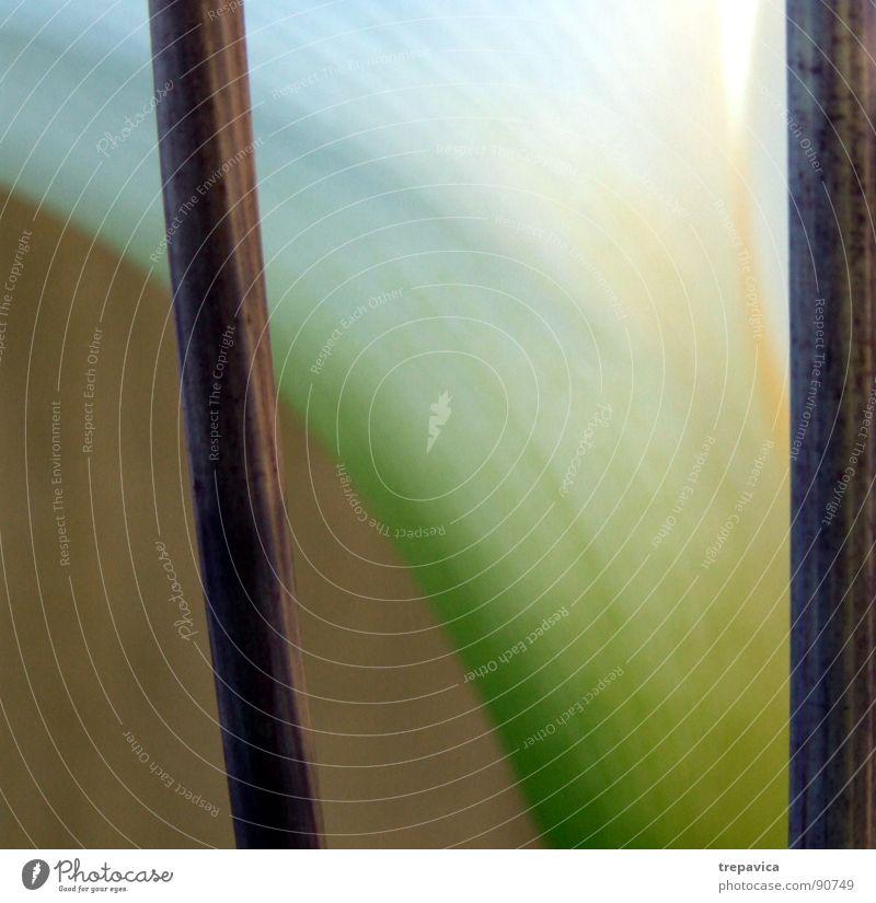 calla lilly Natur weiß Blume grün Pflanze elegant Dekoration & Verzierung Stab Composing