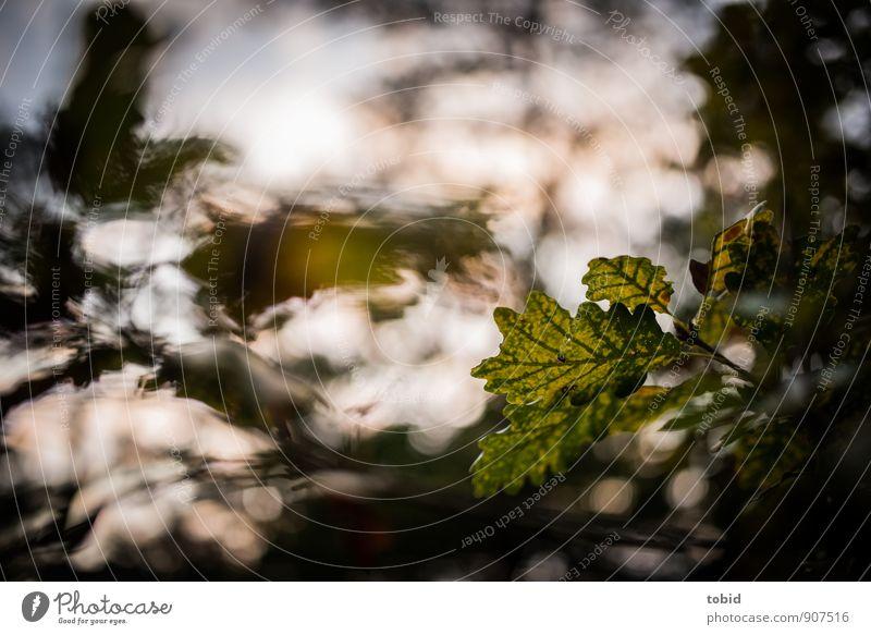 Herbstblatt Umwelt Natur Pflanze Schönes Wetter Baum Blatt Eiche Eichenblatt Wald ästhetisch hell Wärme Idylle Herbstlaub herbstlich Herbstbeginn Farbfoto