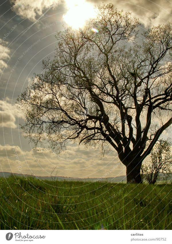 Zum Licht strecken ... Baum Gegenlicht Frühling Blatt Blattknospe Photosynthese Sauerstoff Blattgrün Blüte Obstbaum Feldmark Bilderrätsel Froschperspektive