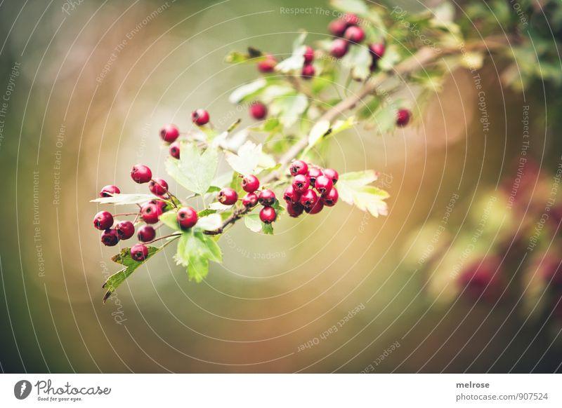 Waldfrüchte im Herbst Natur Pflanze grün Farbe Baum rot Blatt Blüte braun gold leuchten Sträucher genießen Blühend