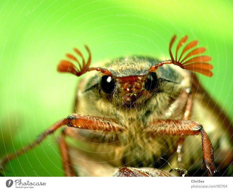 Früh dran : Maikäfer_01 grün Sommer Auge Haare & Frisuren Frühling Beine braun fliegen Beginn Flügel Insekt Käfer Fühler wegfahren April