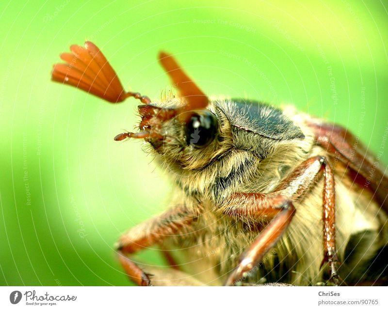 Was guckst du ?? : Maikäfer_02 grün Sommer Auge Haare & Frisuren Frühling Beine braun fliegen Beginn Flügel Insekt Käfer Fühler wegfahren April