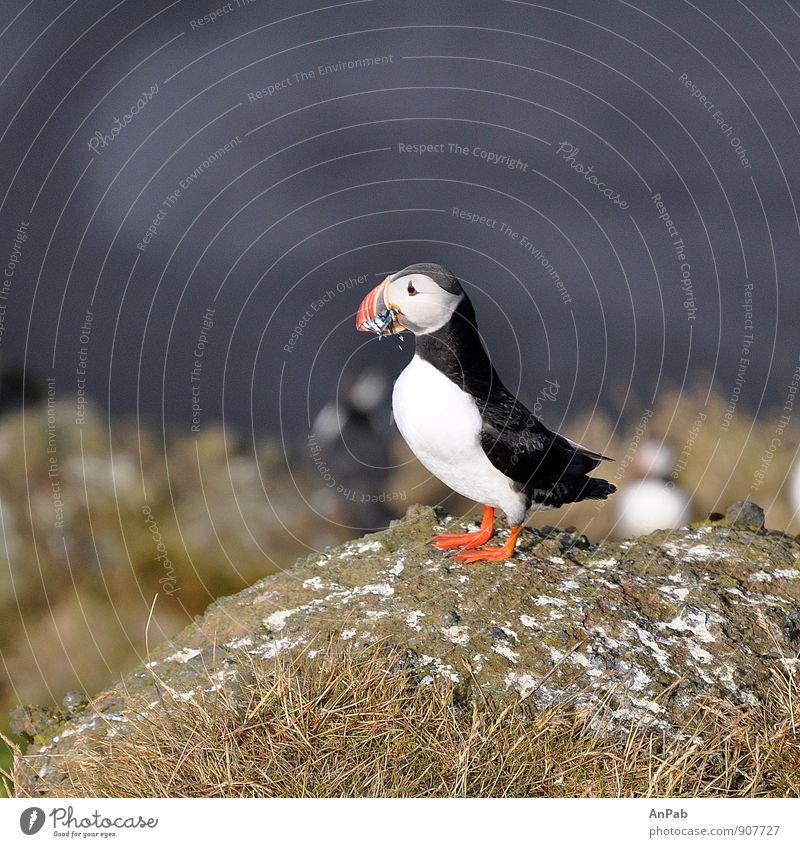 reiche Beute (Papageientaucher Island) Natur Ferien & Urlaub & Reisen blau Pflanze weiß Wasser Sommer Meer rot Landschaft Tier Ferne schwarz Gras Freiheit Vogel