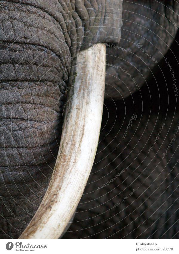 Grauer Riese ruhig Zirkus Zoo Tier Leder Wildtier Tiergesicht Elefantenhaut Elfenbein Stoßzähne 1 Traurigkeit bedrohlich groß grau weiß Trauer Rüssel Säugetier