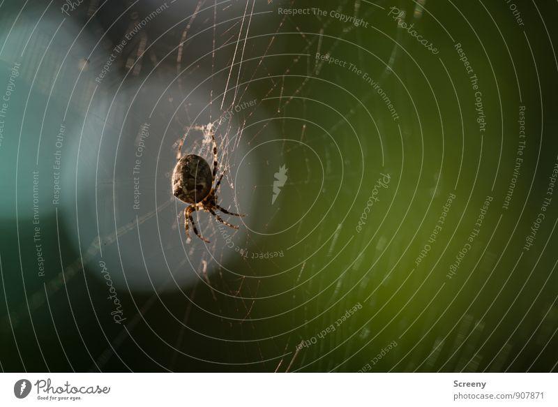 Warte mal... Natur Tier Wald Wildtier Spinne 1 bauen hängen hocken Jagd warten bedrohlich Ekel gruselig klein braun Angst gefährlich Spinnennetz gewebt