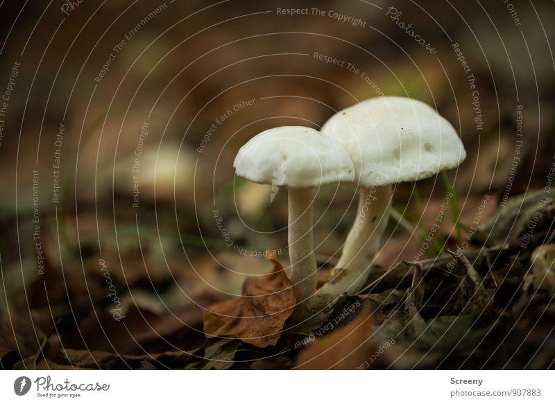 Zusammenhalt Natur Pflanze Erde Herbst Blatt Wildpflanze Pilz Pilzhut Wald Wachstum Zusammensein klein braun weiß Freundschaft Treue Gelassenheit geduldig ruhig