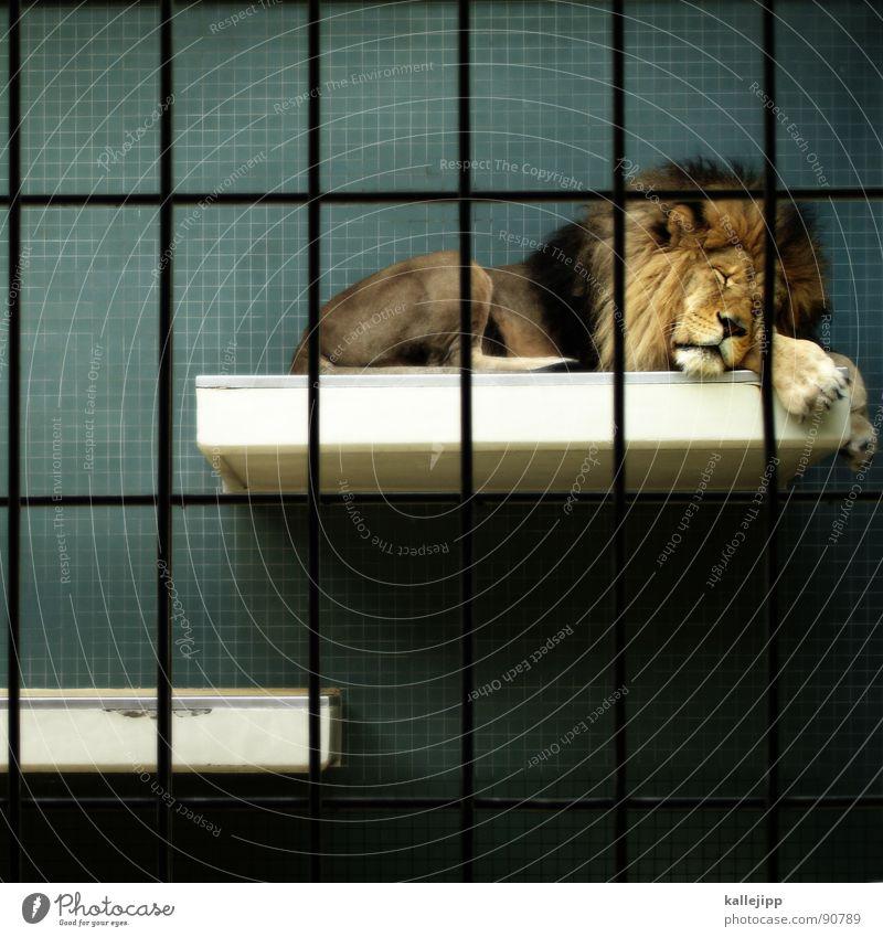 pixelkönig Löwe Zoo Tier schlafen Käfig Gitter Trauer gefangen Pfote Umweltschutz Lebewesen Show Fressen Landraubtier Raubkatze maskulin Fell gefährlich bissig