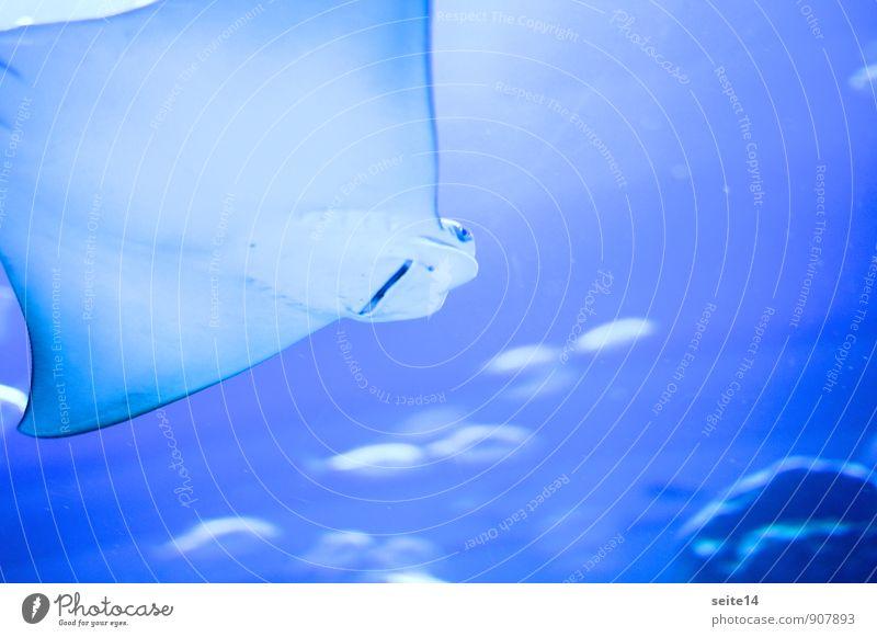 Rochen im Dubai Aquarium blau Wasser Tier Auge Mund bedrohlich Fisch Geister u. Gespenster Maul Gift Stachel Flosse Nasenloch