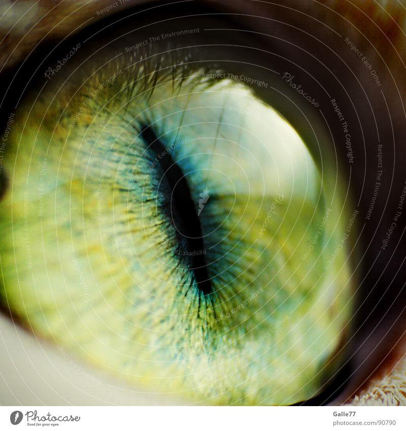 Das Auge des Pixelkönigs beobachten Momentaufnahme Katze Hauskatze Linse Pupille Makroaufnahme Schlitzauge