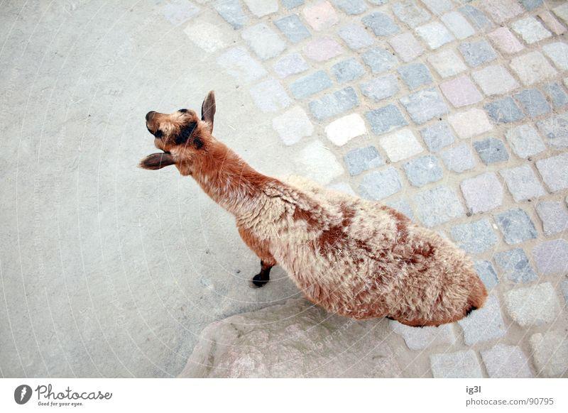 als ich über den tierpark flog Natur Tier Stein braun dreckig niedlich Sauberkeit Rücken Fell Zoo Säugetier Pflastersteine Ziegen mäh Streichelzoo