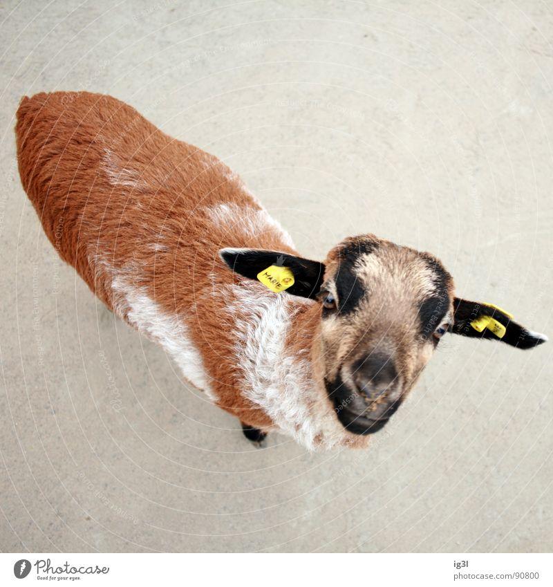 als ich über den tierpark flog #2 Ziegen Vogelperspektive Fell Natur braun Zoo Tier Beschriftung zählen Streichelzoo niedlich Außenaufnahme mäh Säugetier
