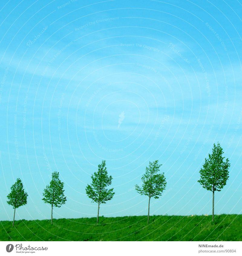 In Reih & Glied himmelblau Wolken Wiese grün Baum Blatt Baumstamm Baumreihe aufgereiht Allee klein groß Sommer Goldener Schnitt Frühling Quadrat 5 Horizont