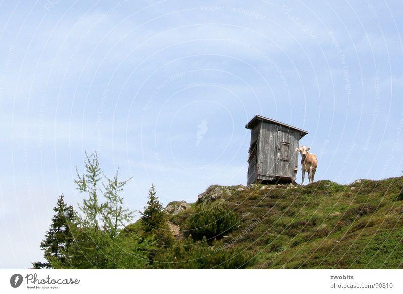 Hier regier ich! II Hochmut Bergbewohner Österreicher Kuh Sommer Froschperspektive Haus alpin Wiese Berge u. Gebirge Hütte Himmel Stolz Alpen Natur blau