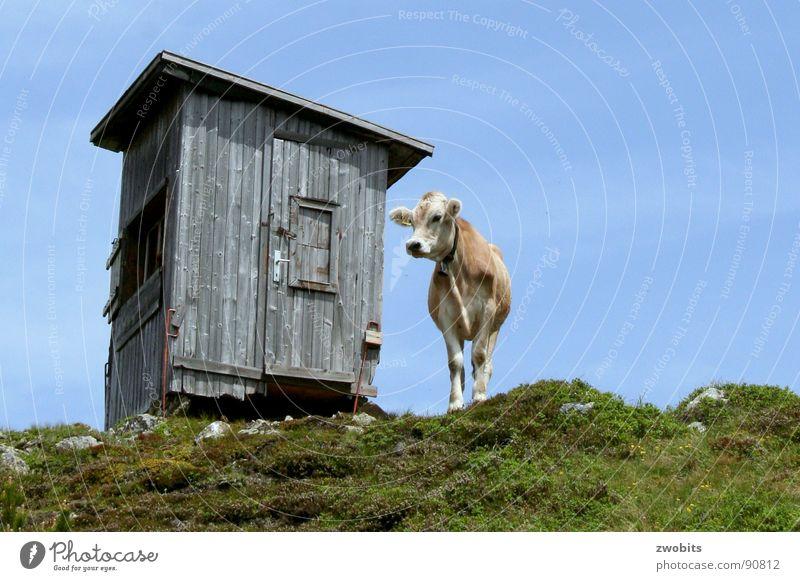 Hier regier ich! III Hochmut Bergbewohner Österreicher Kuh Sommer Froschperspektive Haus alpin Wiese Berge u. Gebirge Hütte Himmel Stolz Alpen Natur blau