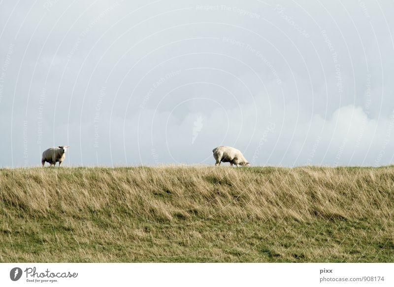 nordnordfriesland Himmel Ferien & Urlaub & Reisen Pflanze grün Landschaft ruhig Wolken Tier Wiese Küste Gras grau Freiheit Tierpaar stehen warten