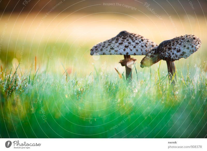 Pilze im Morgentau Natur Pflanze grün Wiese Herbst Gras Gesundheit braun elegant ästhetisch Wassertropfen Klima nass Schönes Wetter Ekel