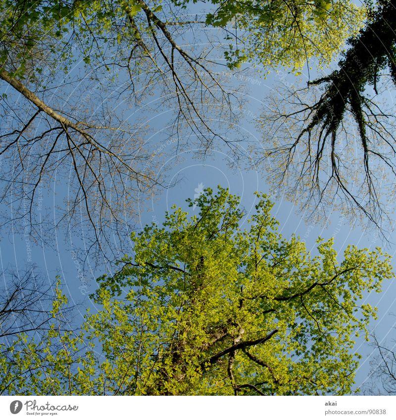 Himmel auf Erden 14 Nadelbaum Wald himmelblau Geometrie Laubbaum Perspektive Nadelwald Laubwald Waldwiese Paradies Waldlichtung ruhig grün Pflanze Baum Blatt