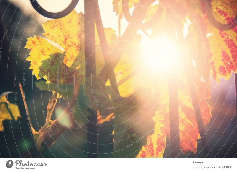 Herbstsonne Umwelt Natur Pflanze Blatt Nutzpflanze Wein Garten Park Wärme gelb rot Warmherzigkeit Abendsonne Herbstlaub Herbstfärbung herbstlich Weinblatt