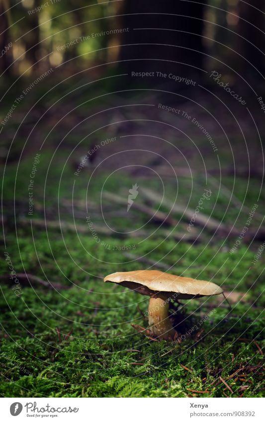 Pilz im Wald Umwelt Natur Landschaft Herbst braun grün schwarz Moos Waldboden Pilzhut Baum herbstlich stehen Wachstum Außenaufnahme Menschenleer