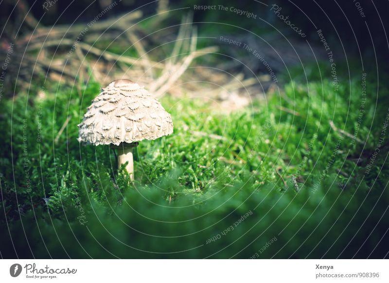 Im Wald da sind die ... Pilze Umwelt Natur Pflanze grün weiß Pilzhut Pilzkopf Moos klein Wachstum Gift essbar ungenießbar ungesund Außenaufnahme Nahaufnahme