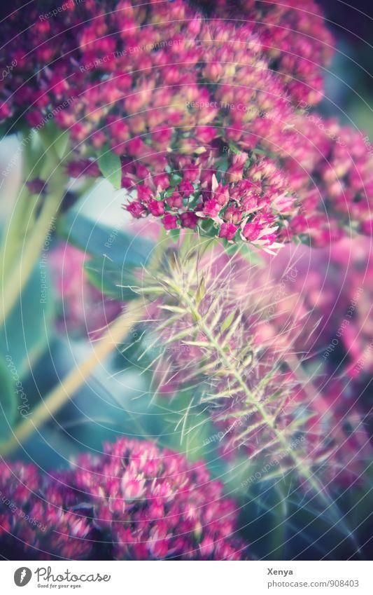 Romantische fette Henne Umwelt Natur Pflanze Blüte Fetthenne Garten Park Blühend rosa türkis Romantik zart herbstlich Außenaufnahme Nahaufnahme Menschenleer Tag