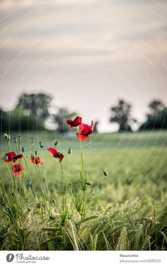 wilder Mohn Himmel Natur Pflanze schön grün Sommer Baum rot Blume Landschaft Blatt Wolken Tier Umwelt Gras Blüte
