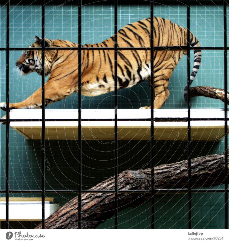 pixeltiger I Tiger Zoo Tier schlafen Käfig Gitter Trauer gefangen Pfote Umweltschutz Lebewesen Show Landraubtier Raubkatze maskulin Fell gefährlich bissig