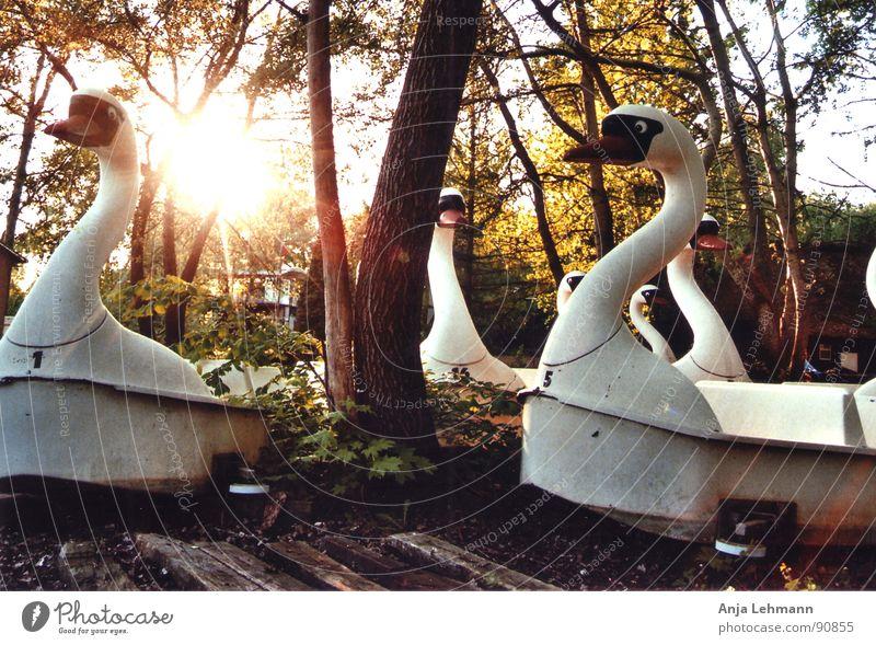 schwäne am abend Schwan Zusammensein Wald Baum Sonnenuntergang verfallen swan swans night evening bird together Abend alt Einsamkeit Vergnügunspark Freude