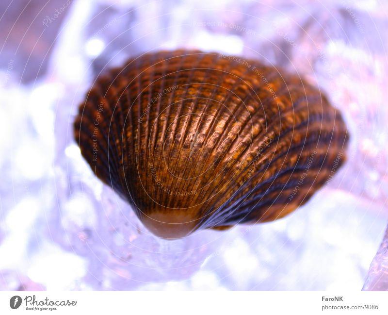 Muschel violett Makroaufnahme Nahaufnahme Eis