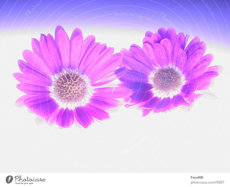 Blüten Astern Langzeitbelichtung Pflanze