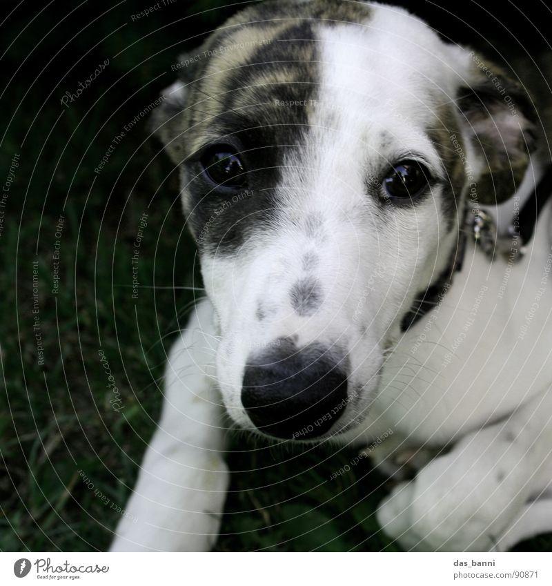bitte, bitte, bitte Windhund Welpe Hundeschnauze Hundeblick Blick in die Kamera Tiergesicht Tierporträt niedlich Hundeauge
