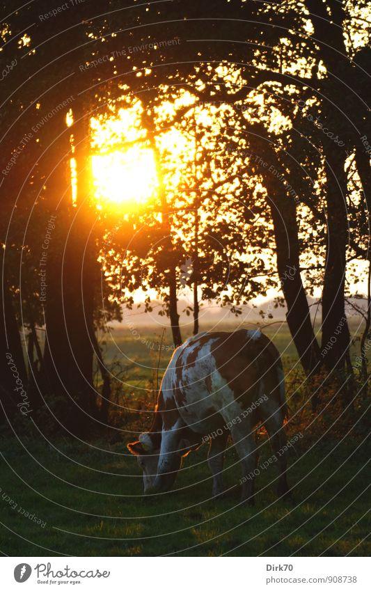 Friedlich grasen im Abendlicht grün weiß Sonne Baum ruhig Tier schwarz Wald gelb Wärme Herbst Wiese Gras braun Feld leuchten