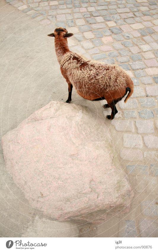 als ich über den tierpark flog #3 Natur Tier Beine Stein braun dreckig Haut niedlich berühren Ohr Fell Zoo Säugetier Pflastersteine Ziegen Grundriss