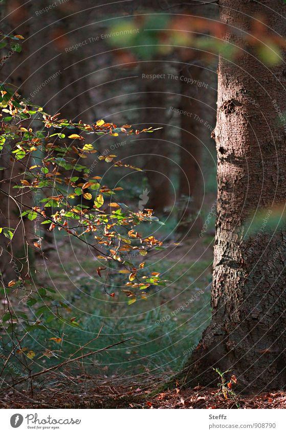 Herbstbeginn Natur Landschaft Pflanze Baum Blatt Herbstlaub Laubbaum Wald Herbstwald schön braun grün ruhig Herbstgefühle Waldstimmung Lichtstimmung