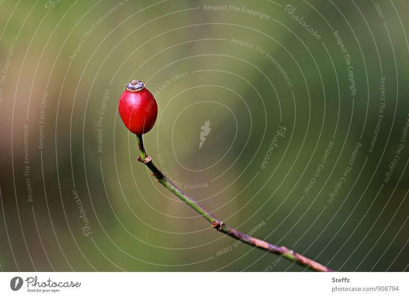 Hagebutte als single Beere Hagebutten Wildpflanze Beeren natürlich grün rot Herbstgefühle Oktober Herbstbeginn laublos Einsamkeit Alleinsein Single alleine