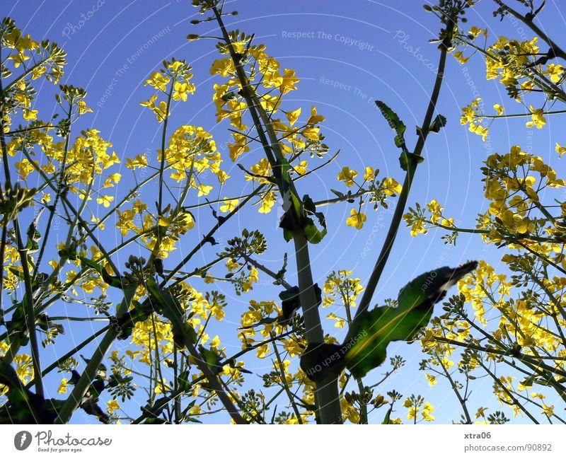 Rapsriesen Rapsfeld gelb Froschperspektive Blüte Feld Sommer Umwelt Frühling Stengel Pflanze Erdöl Energiewirtschaft Blühend Bioprodukte