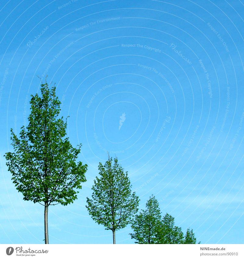 befreit ... himmelblau Wolken grün Baum Blatt Baumstamm Baumreihe aufgereiht Allee klein groß Sommer Frühling Quadrat 3 Schweben luftig Himmel schleierwolke
