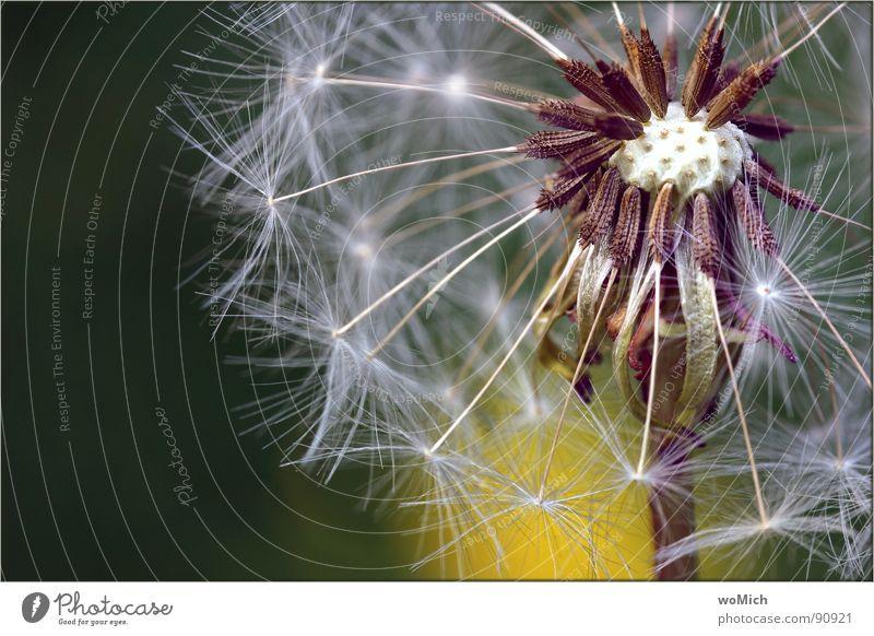Pusteblume Löwenzahn blasen Pflanze Blume Sporen Wiesenblume Sommer Luft Fortpflanzung gelb grün Makroaufnahme Freude Frühling Blühend blühte Samen Stempel