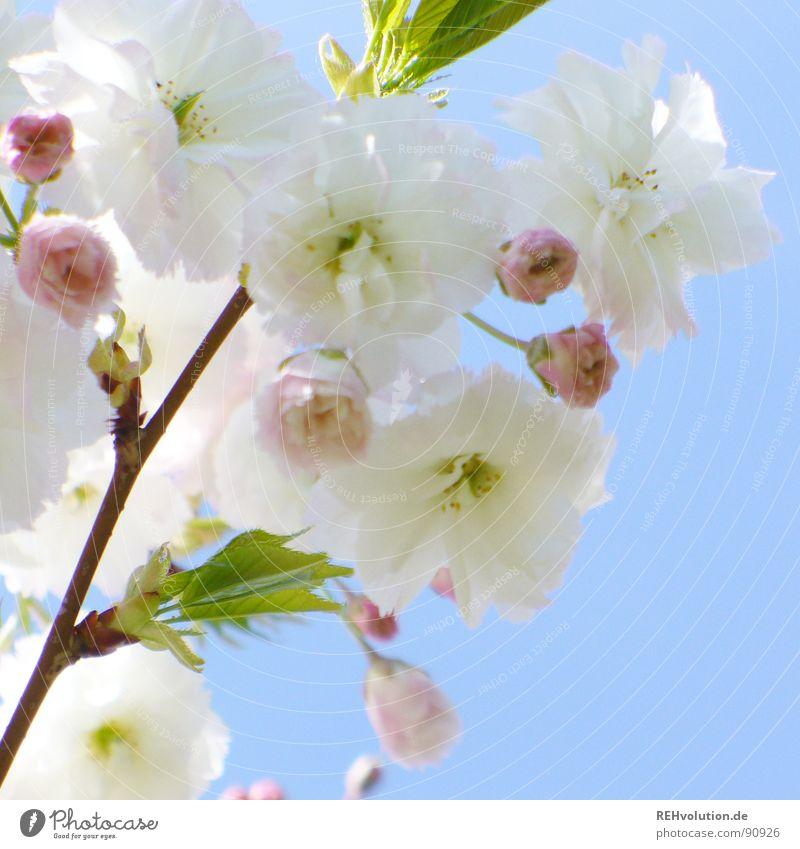 blütentraumbaum Himmel blau grün schön weiß Sonne Frühling Blüte Garten rosa Park Wachstum frisch mehrere Ast Blühend